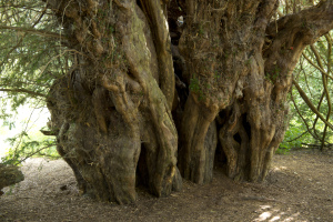 The ancient Ankerwycke Yew at Runnymede in Surrey. Credit John Miller