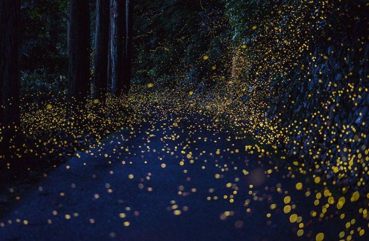 fireflies Hiramatsu-2