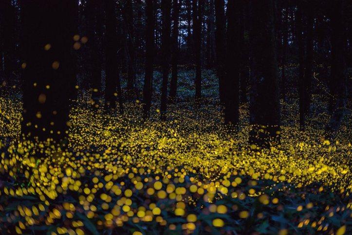 fireflies Hiramatsu